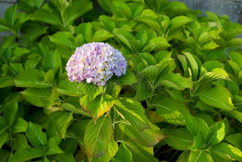 blå vanlig hortensia arkivbilder