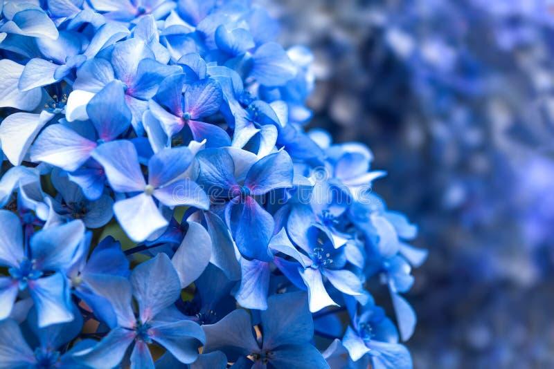 Blå vanlig hortensiamakro royaltyfri foto