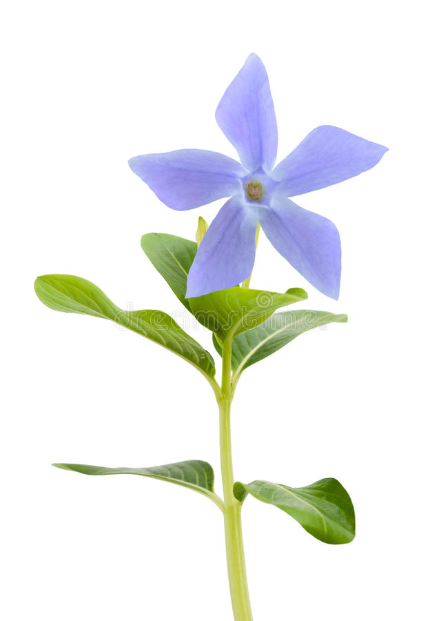 Blå vintergrönablomma arkivbild