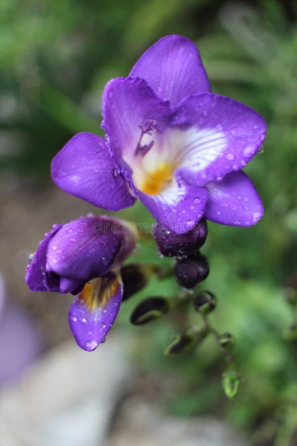 blå violet för freesia arkivfoto