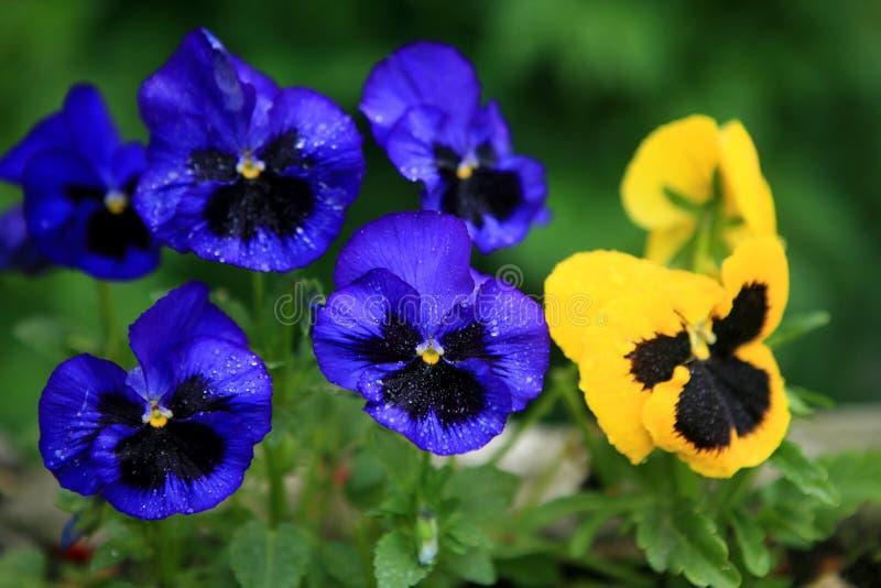 blå violetsyellow arkivbilder