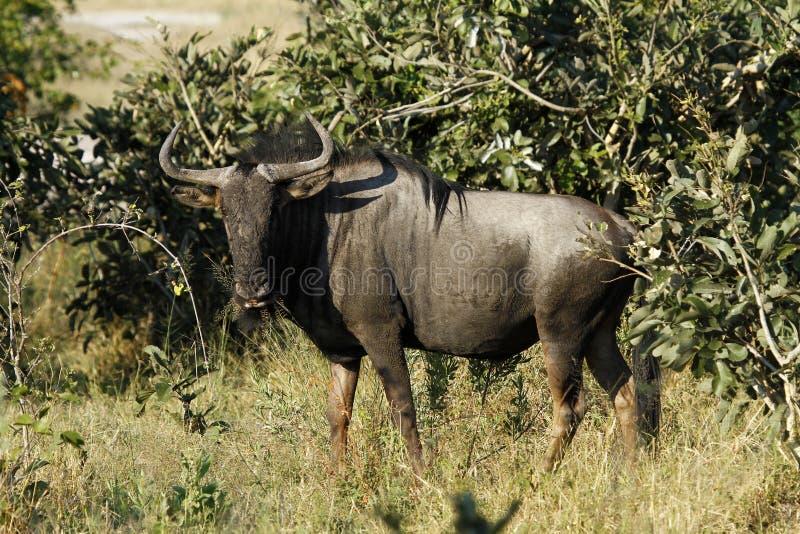 blå wildebeest royaltyfria bilder