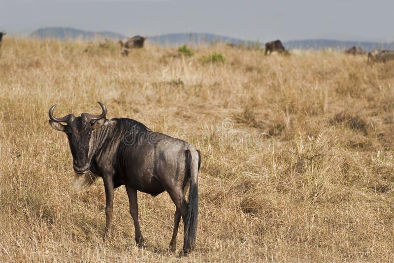 Blå wildebeest i Kenya arkivfoton