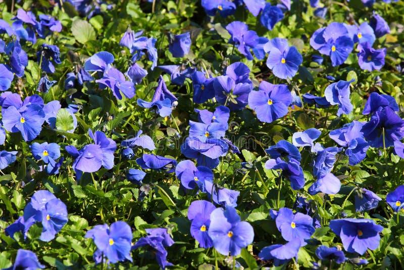 Blåa altfiolblommor på en blomsterrabatt royaltyfri bild