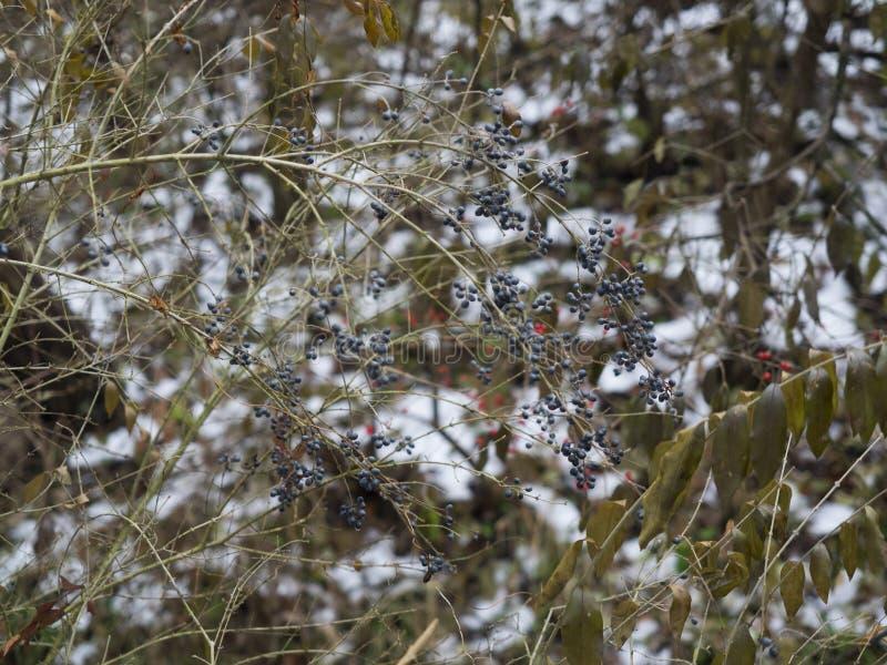 Blåa bär för vinter på en buske arkivbilder