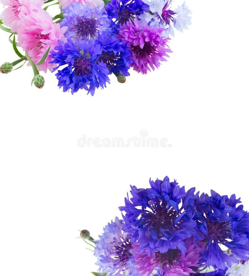 blåa blåklint arkivfoton