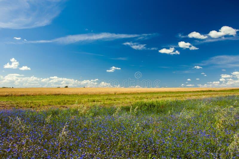 Blåa blåklinter i ett fält och vita moln på en blå himmel fotografering för bildbyråer