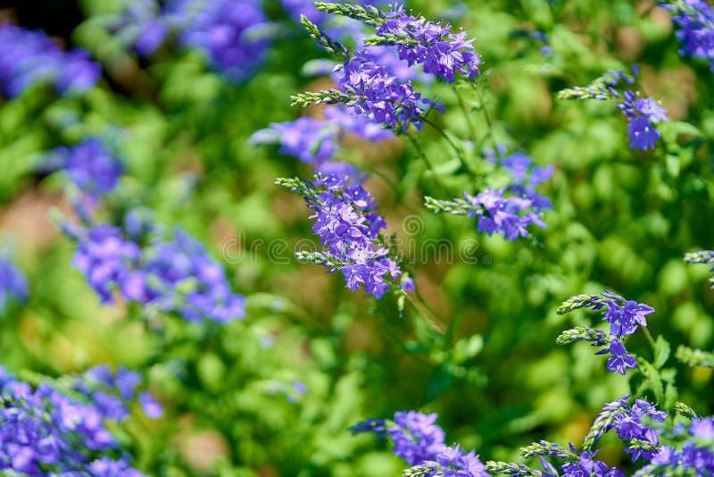 Blåa blommor i blomningen på en solig dag, suddig bakgrund inga personer fotografering för bildbyråer