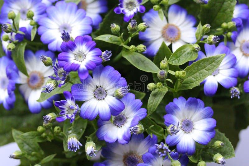 Blåa blommor i den hem- trädgården arkivfoto
