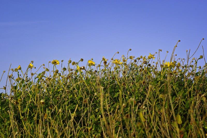 blåa blommor som ner skyyellow arkivfoto
