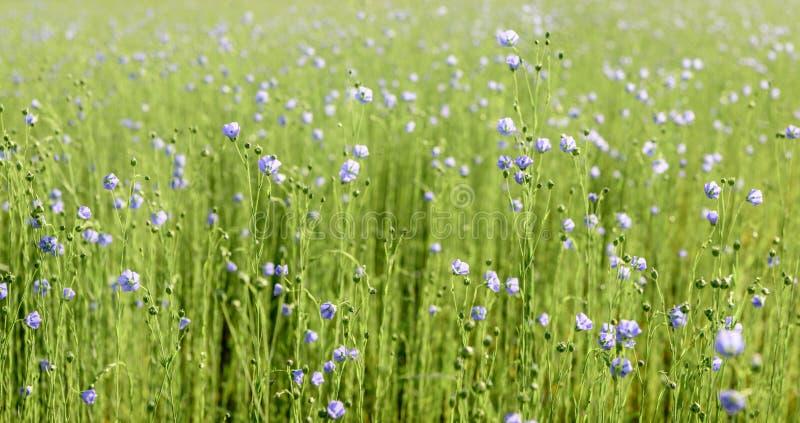 Blåa blomstra gemensamma linväxter från slut royaltyfri bild