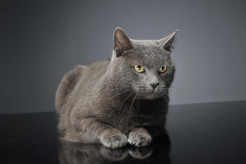 Blåa Brit Cat i en mörk studio arkivfoto