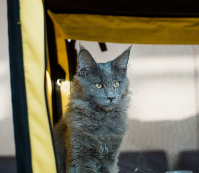 Blåa Cat Maine Coon i utställningen fotografering för bildbyråer