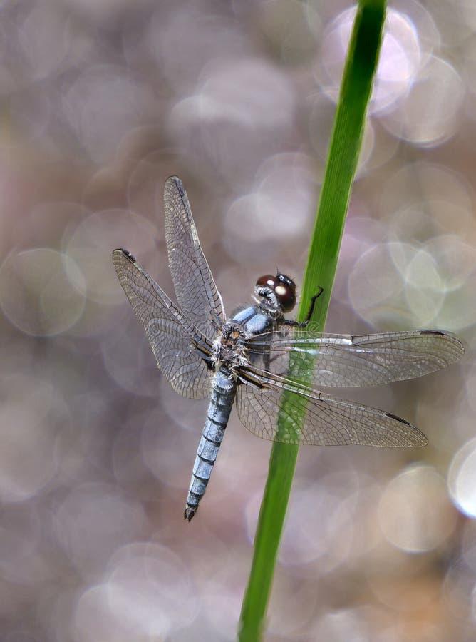 Blåa Dasher Dragon Fly på en Reed Near ett damm med reflekterande viktig royaltyfria bilder