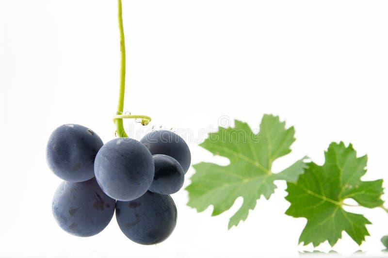 Blåa druvor med gröna sidor royaltyfria bilder