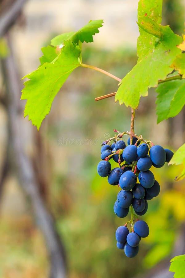 Blåa druvor med gröna sidor på suddig bakgrund för vingård arkivfoton