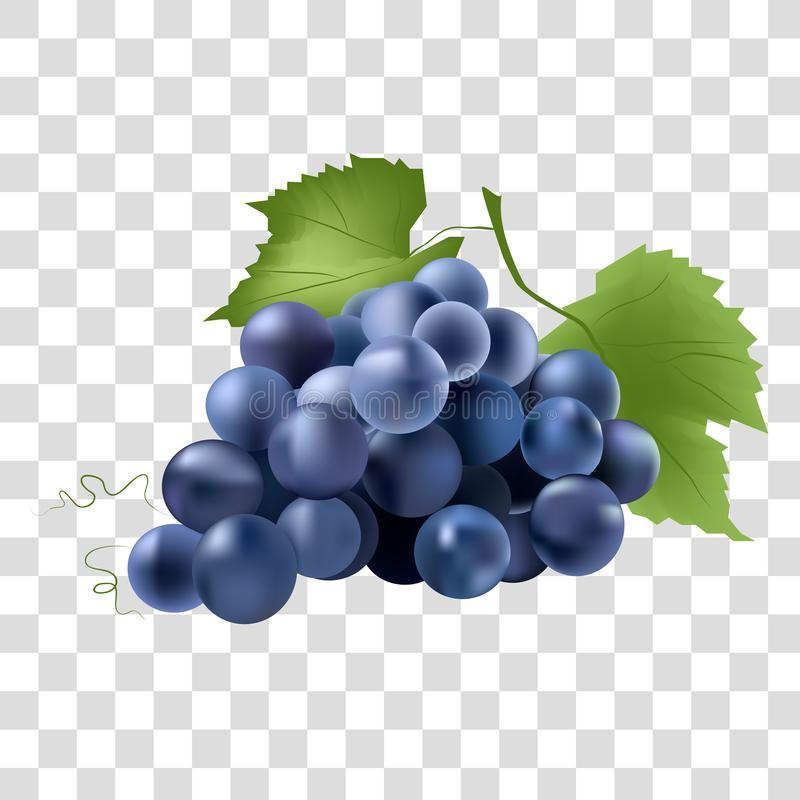 Blåa druvor på en ljus bakgrund stock illustrationer