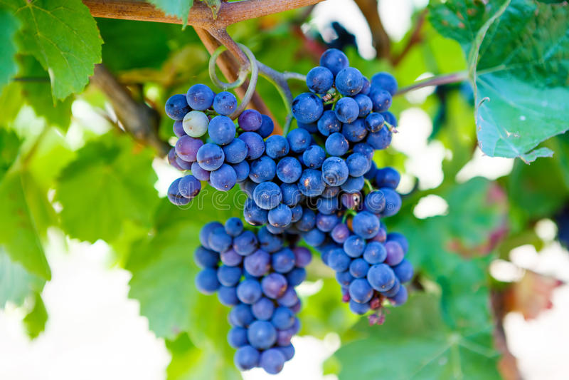 Blåa druvor som var klara att skörda, gjorde vid en vinhandlare i en etablerad vinodling arkivbilder