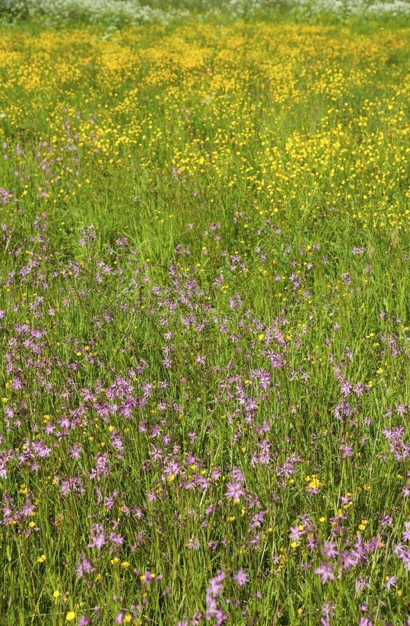 blåa fältblommor gräs ängskysommar under arkivbilder