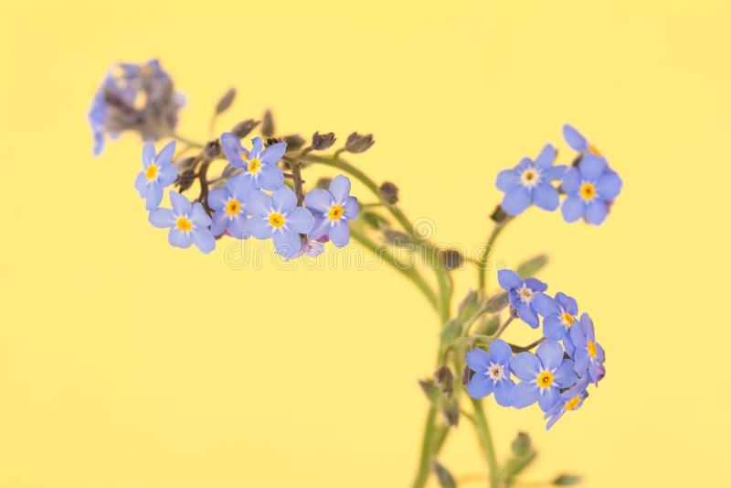 Blåa förgätmigejblommor för läckerbit arkivfoton