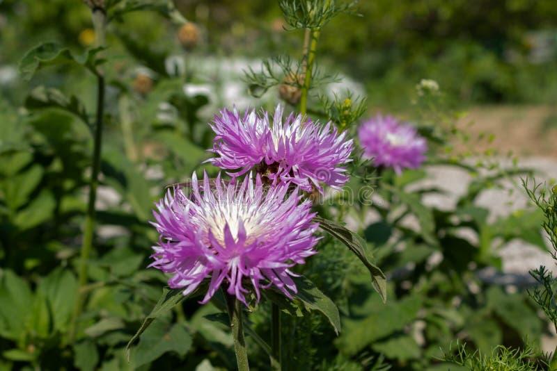 Bl?a fluffiga blommor med ljusa hj?rtor p? bakgrunden av gr?na sidor runt om n?rbild fotografering för bildbyråer
