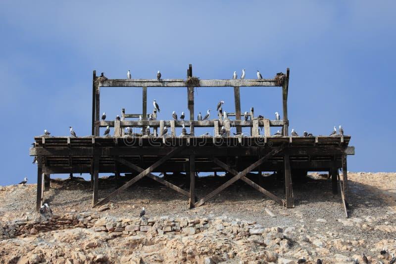 Blåa fotdumskallar Islas Ballestas royaltyfria bilder