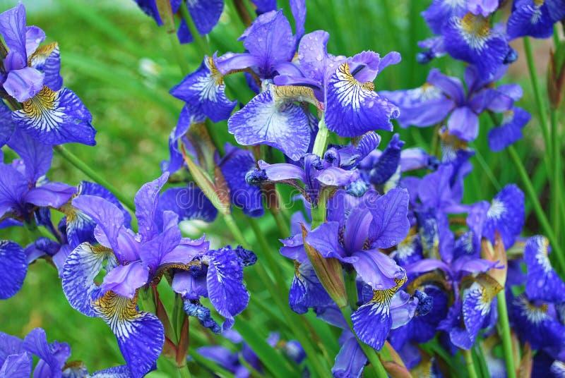blåa gladioluses royaltyfri foto