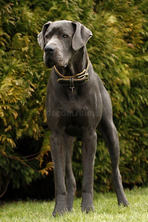 Blåa Great dane royaltyfri bild