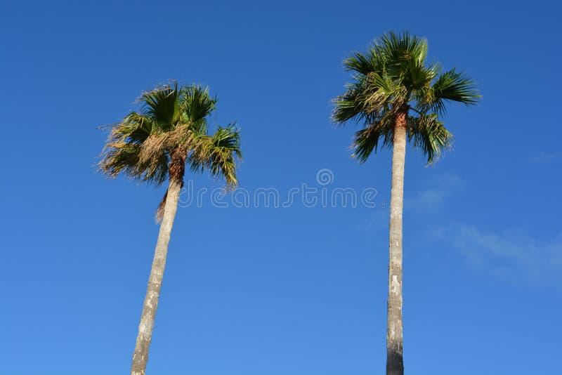 Blåa himlar bak palmträd arkivbilder
