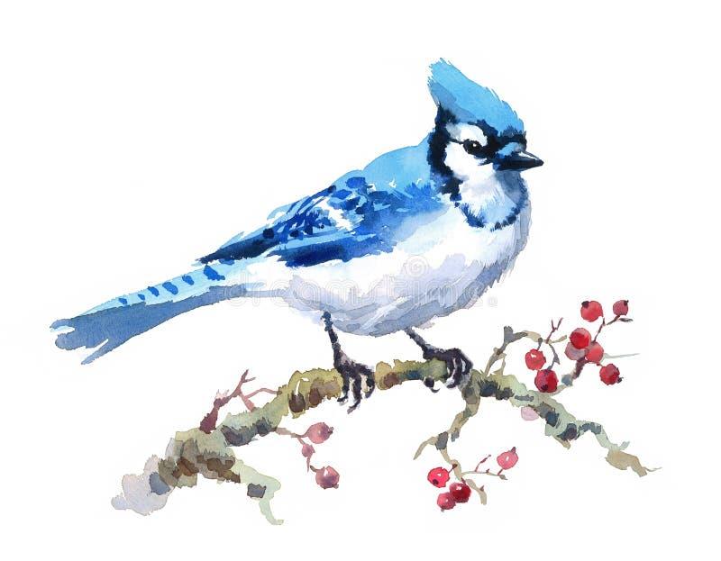 Blåa Jay Bird på filialen med handen för illustrationen för snö för bärvattenfärgvintern målade på vit bakgrund royaltyfri illustrationer