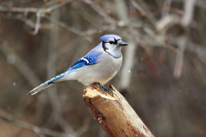 blåa jay för fågel snow arkivbild
