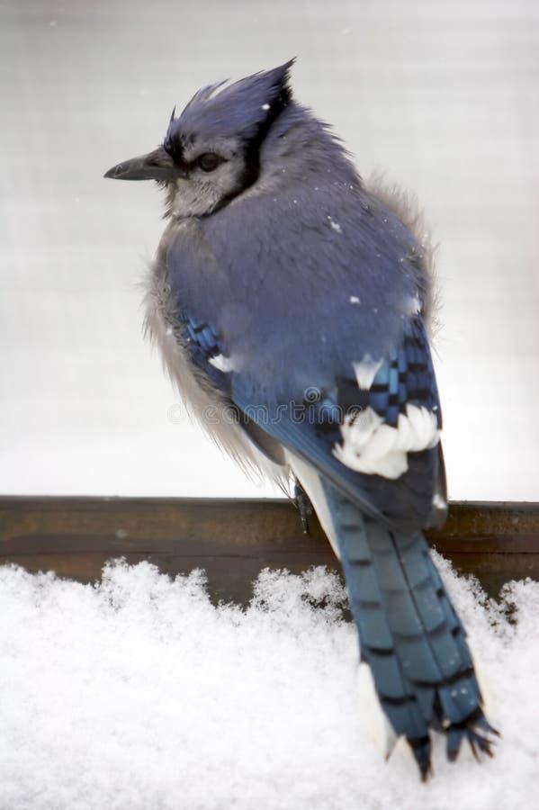 Blåa Jay Snow Royaltyfri Foto