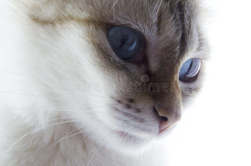 blåa kattögon arkivbild