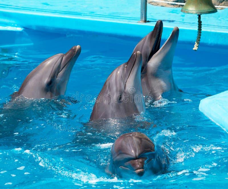 blåa klara delfiner flockas vatten arkivfoton