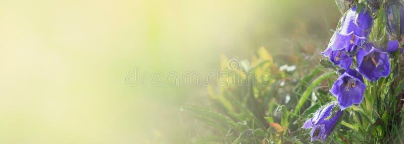 Blåa Klocka blommor i solen Det härliga ängfältet med vildblommor stänger sig upp område moscow en panorama- sikt arkivbild