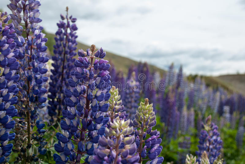 Blåa lösa lupines (Lupinusperennis) blommar i fältet royaltyfri bild