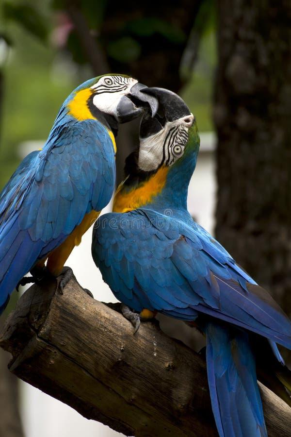 blåa macaws två royaltyfri fotografi