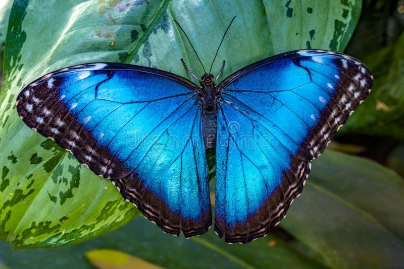 Blåa Morpho, Morpho peleides, stor fjäril som sitter på gröna sidor, härligt kryp i naturlivsmiljön, djurliv royaltyfria bilder