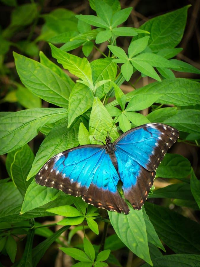 Blåa Morpho, Morpho peleides, stor fjäril som sitter på gröna sidor, härligt kryp i naturlivsmiljön, djurliv från amason arkivfoton