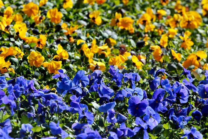 Blåa och gula altfiolblommor på en blomsterrabatt, färgerna av den ukrainska flaggan royaltyfri foto