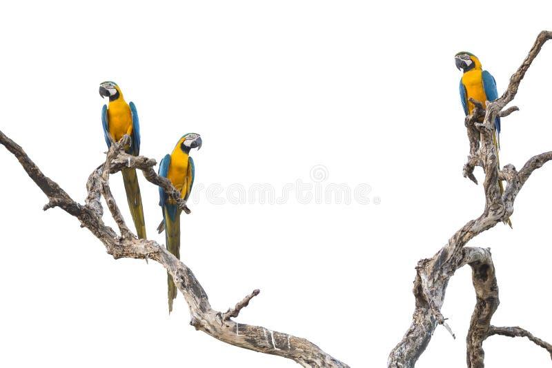 Blåa och gula aror som isoleras på vit royaltyfria foton