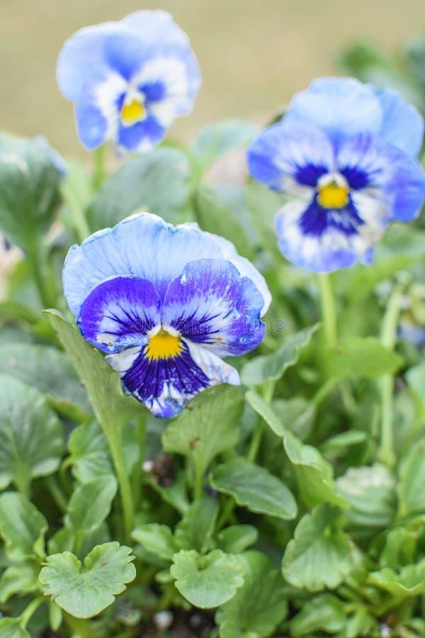 Blåa och gula Pansies, vårblommor royaltyfria bilder