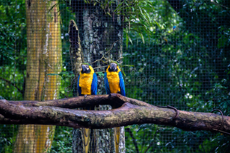 Blåa och guld- aror på Parque das avar - Foz gör Iguacu, Parana, Brasilien fotografering för bildbyråer