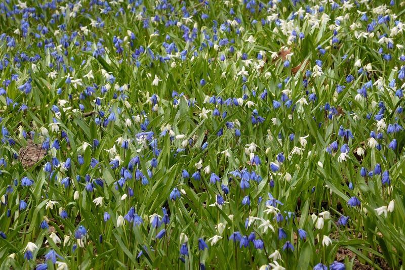 Blåa och vita scillas strilar en gräsmatta med färg arkivfoto
