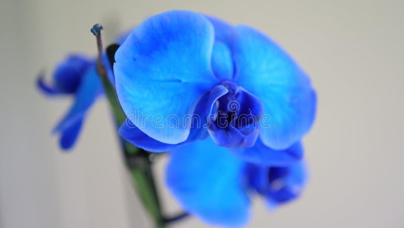 Blåa Orhideea på grå bakgrund royaltyfria bilder