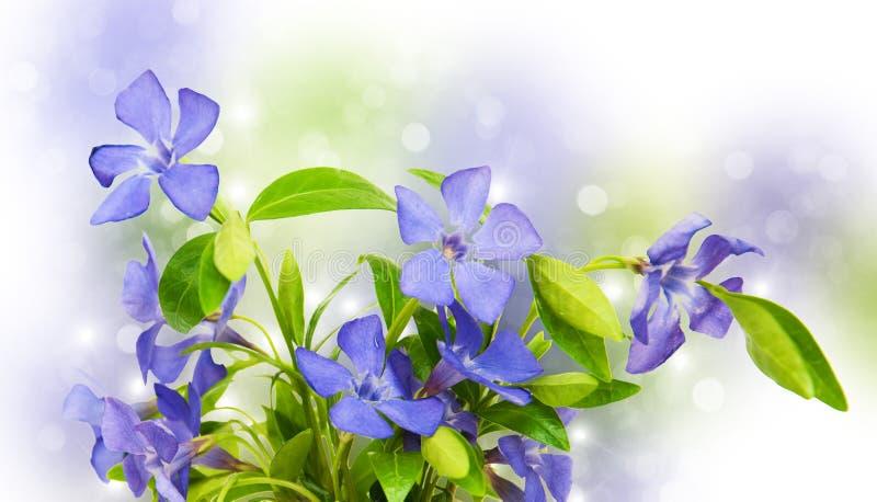 Blåa Perwinkle blommor fotografering för bildbyråer
