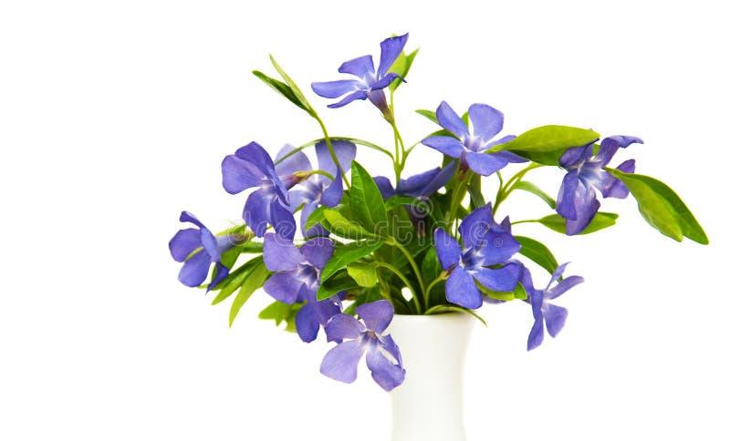 Blåa Perwinkle blommor arkivbild