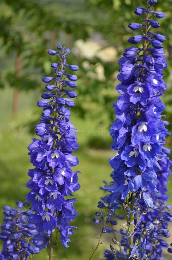 Blåa purpurfärgade blommor i trädgården riddarsporrar arkivbilder