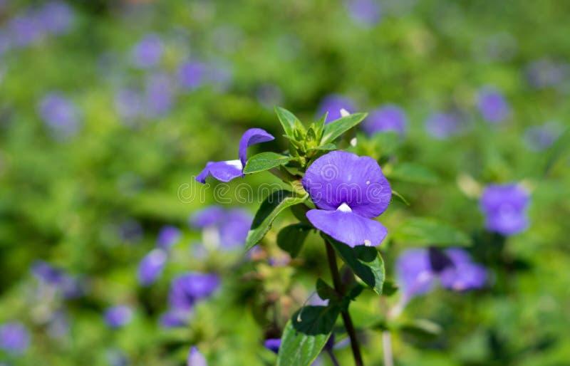 Blåa purpurfärgade blommor parkerar in fotografering för bildbyråer