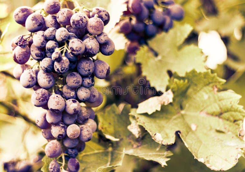 Blåa rött vindruvor i ett vingårdslut upp royaltyfria bilder